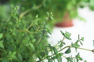 Fresh thyme herb in a pot