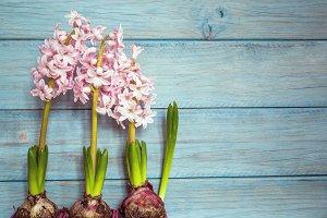 three hyacinths