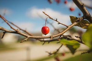 One tiny crab apple on tree branch
