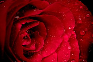 Fresh red rose