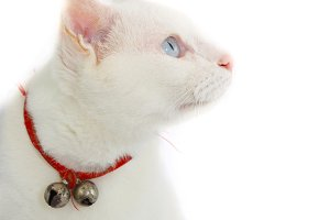 Thai white cat