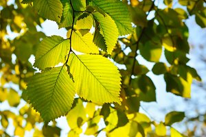 Sunny leaves