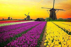 dutch windmill over  tulips field