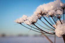 Snow on umbelliferous plant