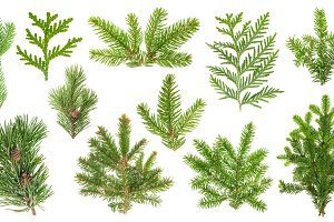 Fir Pine Thuja tree branches JPG