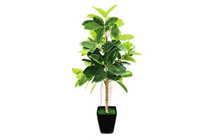 Ficus elastica (Indian Rubber Bush)