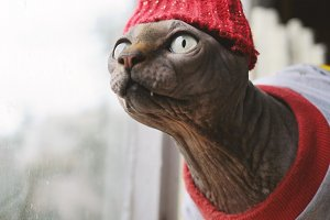 Sphynx cat in red hat