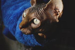 Sphynx cat low key portrait