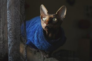 Sphynx cat near curtain