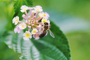 Bee eat flower pollen