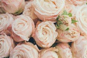 Beautiful fresh beige roses background
