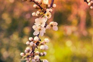 apricot tree flowers