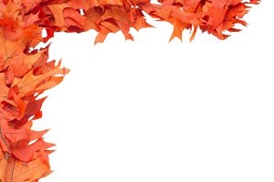 Colorful red oak leaves