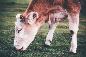 Cow Farm Animal at alpine valley