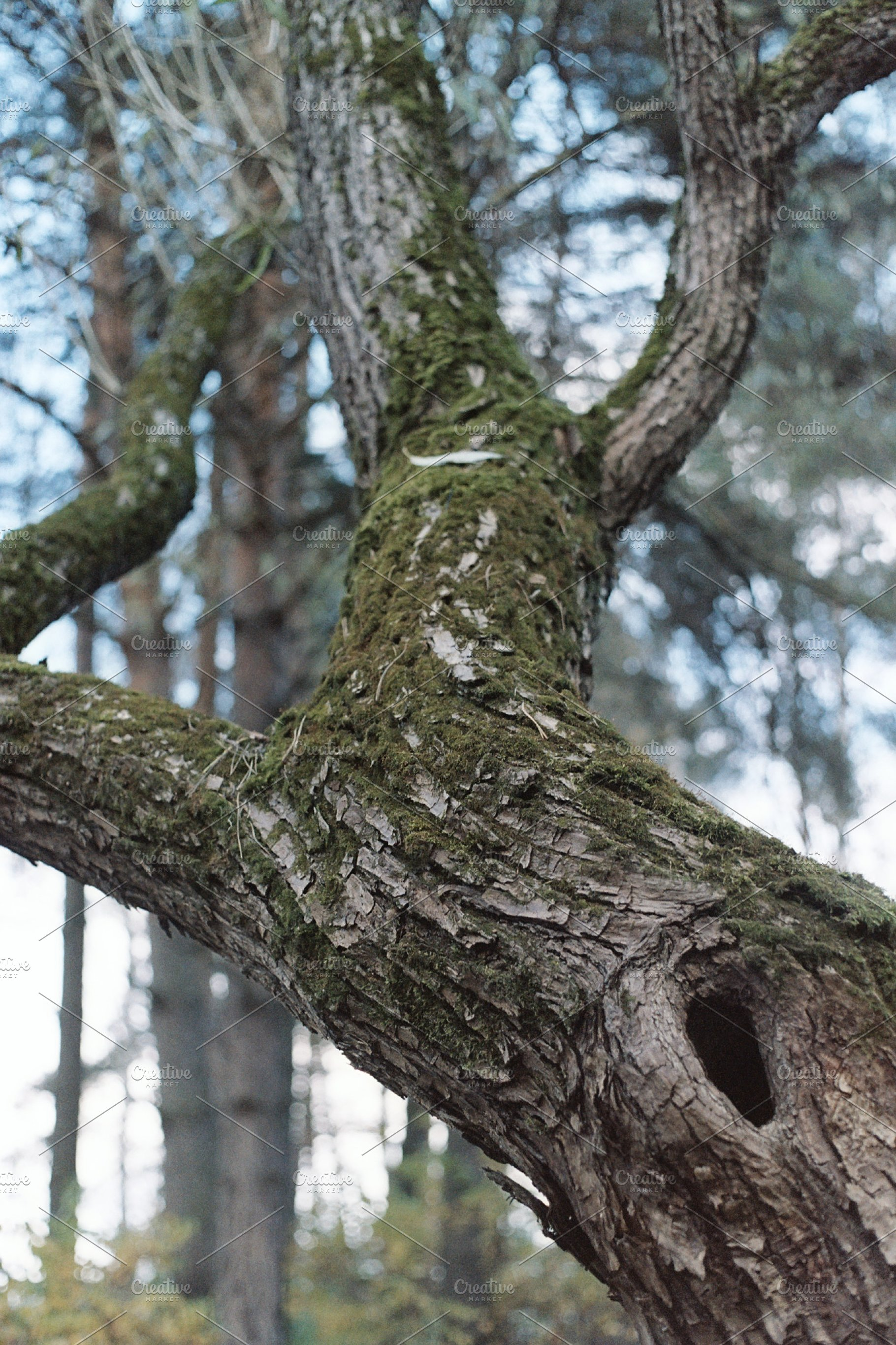 99cfb1147f7 Elderly venerable tree - 35mm film scan Olympus OM-1 and Kodak Color ...