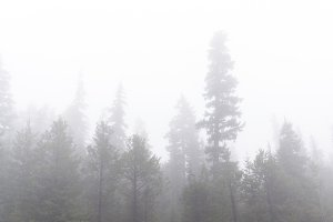 Fog surrounds evergreen trees