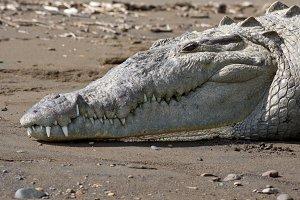 Crocodile sunning on the beach