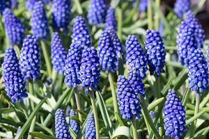 Grape Hyacinths blooming in spring