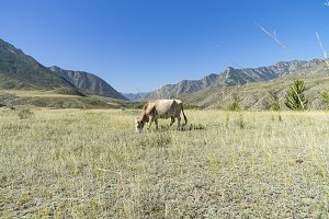 Cow grazing in a mountain meadow.