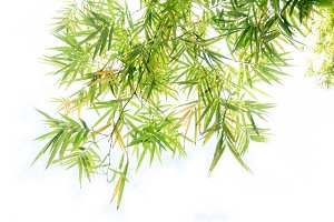 bamboo leaf on white background
