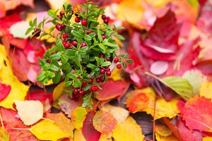 Fresh red forest cranberries in pot fall leaves wooden background autumn