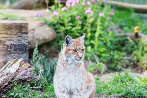 Elegant lynx outdoors