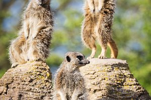 meerkats mongoose