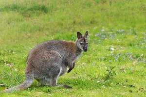 Young kangaroo on green meadow