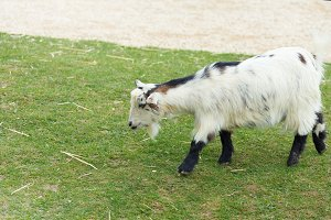 Small goat on a grass