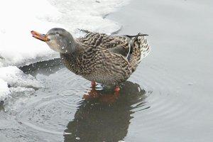 Duck: Shake it off