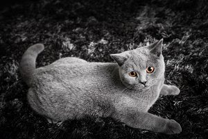 Adorable cat with ginger orange eyes lying on black and white carpet