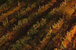 Vineyard top view