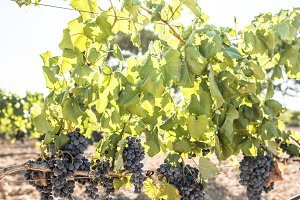 Vine grapes on sunlight
