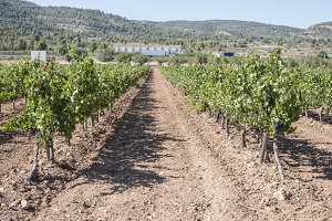 Vineyards in a rows