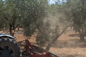 Tractor and olive trees.