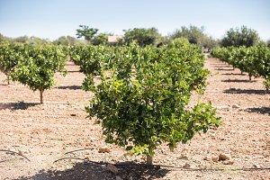 Orange plantation with trees.