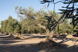 Olive plantation with many trees.