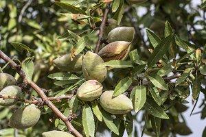 Almond tree branch close up