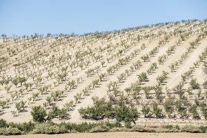 Almond trees plantation