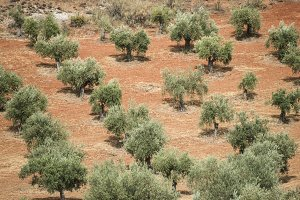 Olive trees in a row.
