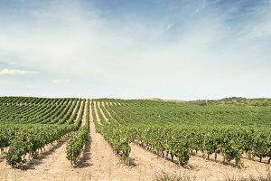 Vine grapes panorama on sunlight