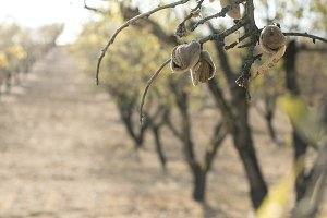 Almond tree branch with fruits