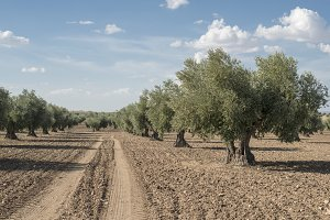Olive plantation with many trees