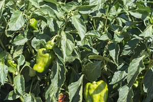 Growing peppers in the field.