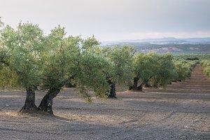 Olive plantation with many trees