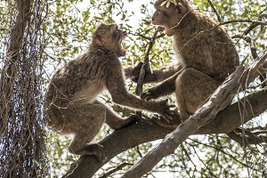 Barbary macaques who fight.