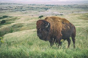 Bison in the Badlands National Park