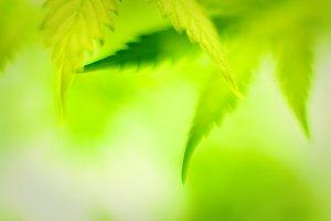 Cannabis closeup shot.