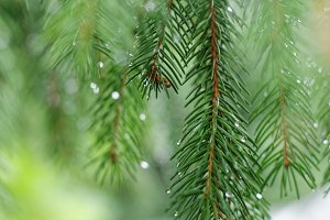 Coniferous tree branch
