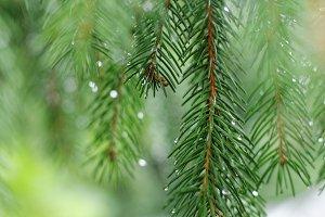 Coniferous tree branch